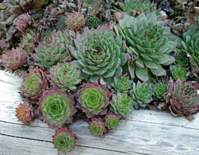mother hen and chicks plant | hen_and_chick.jpg