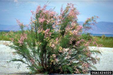 Salt Cedar  tamarix ramosissima