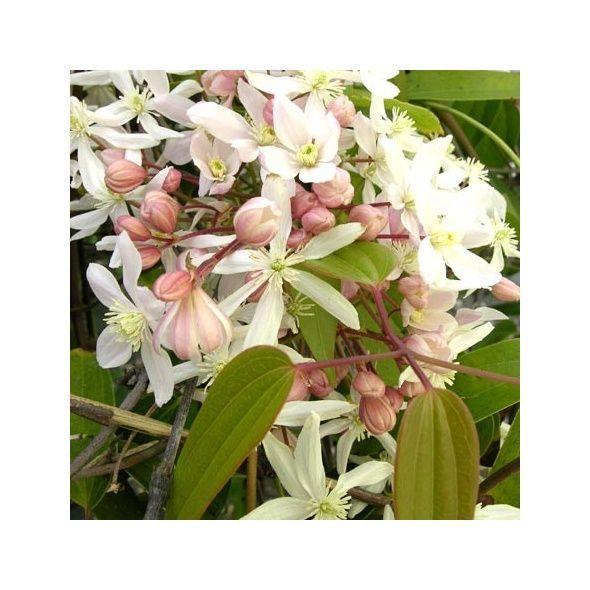 Clématite armandii 'Apple Blossom'  feuillage persistant - fleuri mars et avril - odorante