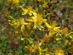 St Johns Wort for Depression healing herbs #herbs #healing