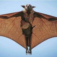Αποτέλεσμα εικόνας για zorro volador filipino gigante