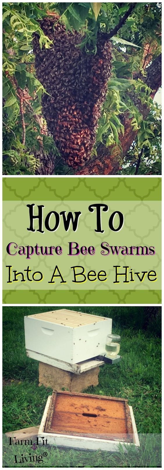 Have you ever had the opportunity to capture bee swarms? Here are some tips for how to capture bee swarms into a bee hive. via @www.pinterest.com/farmfitliving