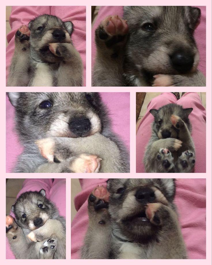 Smorfie da cuccioli... 🐺🐺🐺😍😄🐾#SaarloosPuppies #NewLitter #Cuccioli #DiFossombrone