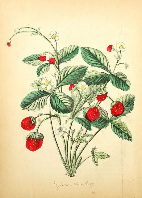 Strawberry, The American Flora, 1855