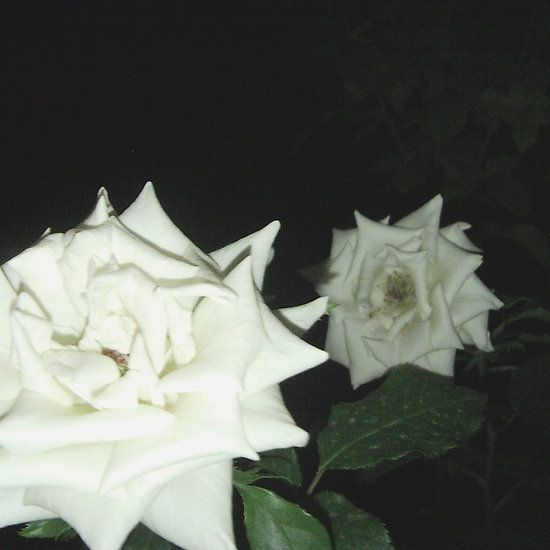 night roses #summer #night # roses #flowers #love #platinepearl