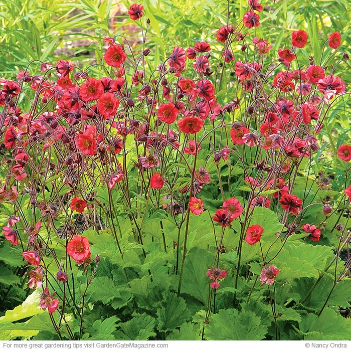 'Red Dragon' geum Geum hybrids. Type: Perennial. Blooms: Double red blooms from early to midsummer. Light: Full sun to part shade. Soil: Moist, well-drained. Size 16 to 18 in. tall in bloom, 12 to 24 in. wide Cold-hardy USDA zones 5 to 9. Heat-tolerant AHS zones 9 to 1