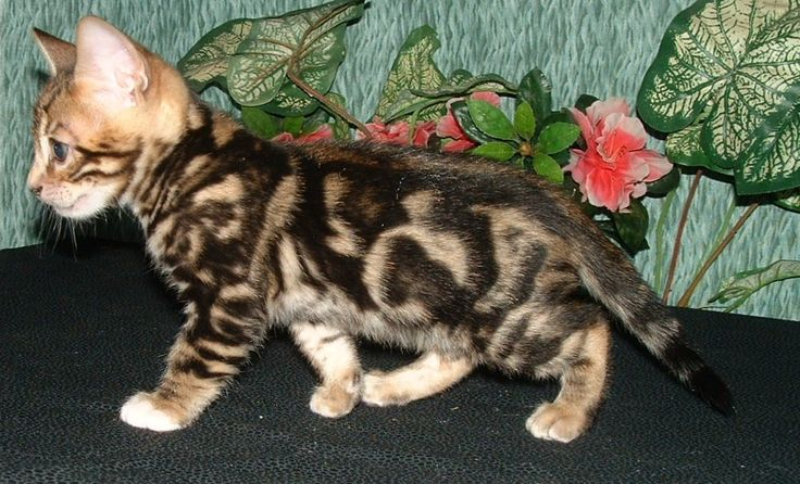 "pictures of sheet marble bengals cats | Making Waves"" is a 6 week old, male, brown/black, marble, Bengal ..."