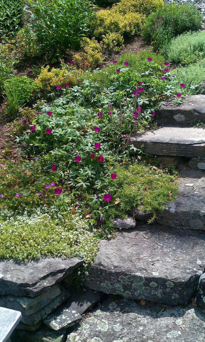 L 39 escalier en pierre bordure de geraniums thym et origan for Amenagement jardin 2 niveaux