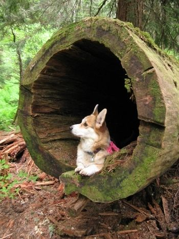 Nature Loving Corgi. this breed is one of a kind