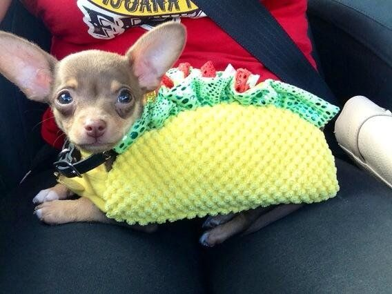 Chihuahua in a Taco Halloween costume for a dog!