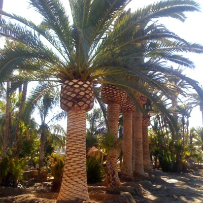 Canary island date palm zone