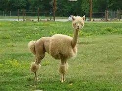 Llama with a Poodle Cut lol