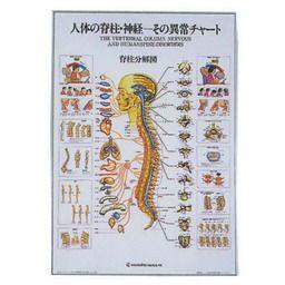 人体の脊椎・神経ーその異常チャート 104×74cm アルミパネル入 - 人体 ...