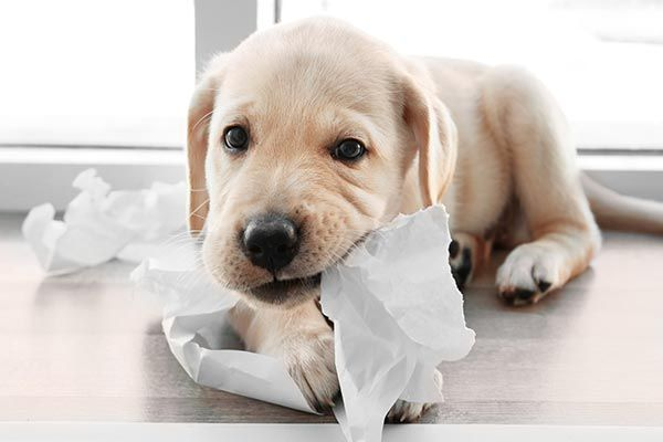 A Timeline Of Puppy Teething Puppy Teething Puppy Chewing Puppies