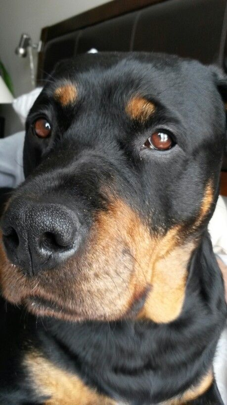 204 Best Images About Rottweiler S