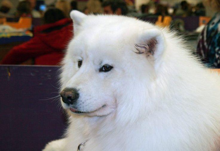 Siberian Samoyed dog #samoyeddog