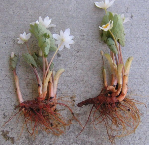 Bloodroot. This magic herb is great for family protection and family luck, typically powdered and sprinkled around the outside of the house. It has strong traditions of Mars protective magic - Pinned by The Mystic's Emporium on Etsy