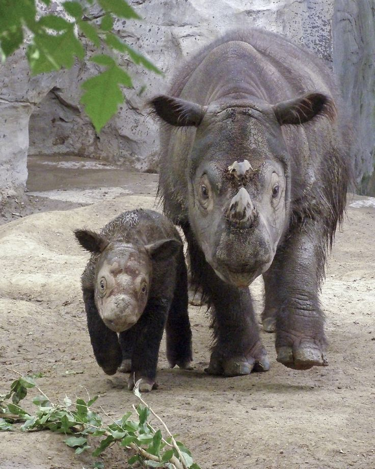 Sumatran rhinoceros (Dicerorhinus sumatrensis).  Also known as the hairy rhino, it is the smallest extant rhino with only 100 individuals left in the wild.