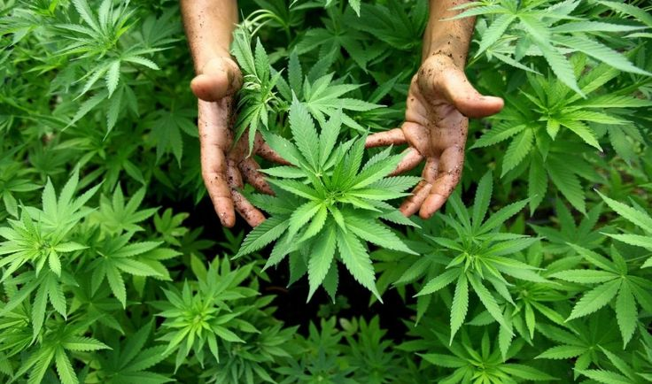Cannabis is one of the most powerful healing plants on the planet. Here are the top 10 health benefits of marijuana...