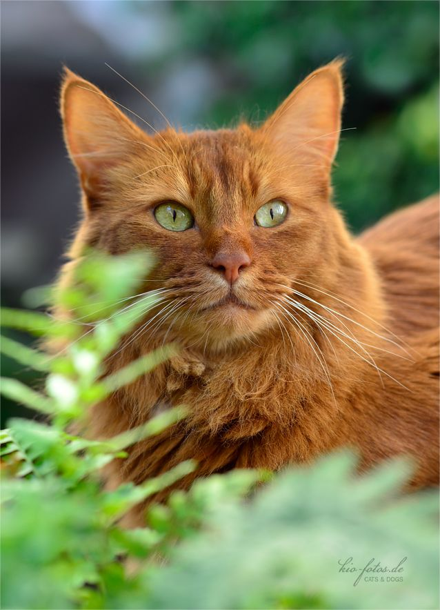 Golden Taby Cat With Green Eyes