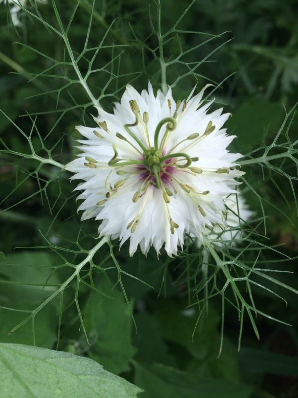 Loveinthemist Nigella Damascens An Unusual Annual Plant Bearing