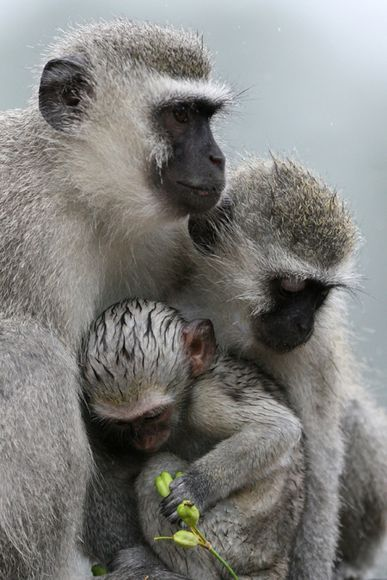 Africa | Family of vervet monkeys during unseasonably rainy and cold summer weather in Skukuza, Kruger National Park, South Africa | © Johannes de Wet