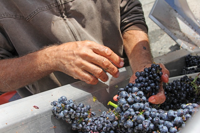 Armida Winery's First Day of Harvest 2012