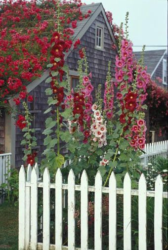 'Sconset village-Nantucket. Love the old-fashioned hollyhocks, and the white picket fence!