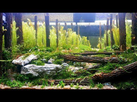 Replica 2nd Forest Of The Ages Iiac 2018 Setting Aquascape Replika Tema Hutan Pakai Kayu Teh Tehan Youtube Aquascape Aquarium Set Forest