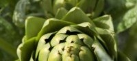 The properties of Artichoke have been recognized since antiquity. It was particularly popular in the 16th-19th centuries. The eclectic physicians of North America used Artichoke to support healthy urine flow and production and to support normal function of the digestive system and liver*. In European herbal medicine it has been used to support the same functions, but also to support healthy skin, encourage a normal appetite, and to support healthy bile flow and cholesterol metabolism*. _Good…