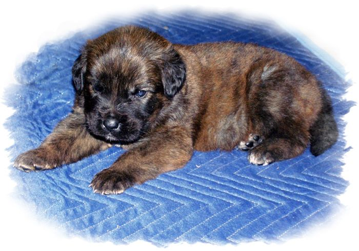 Brindle Mastiff please