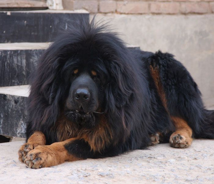 62 best Tibetan Mastiffs & Caucasian Ovcharka images on ...
