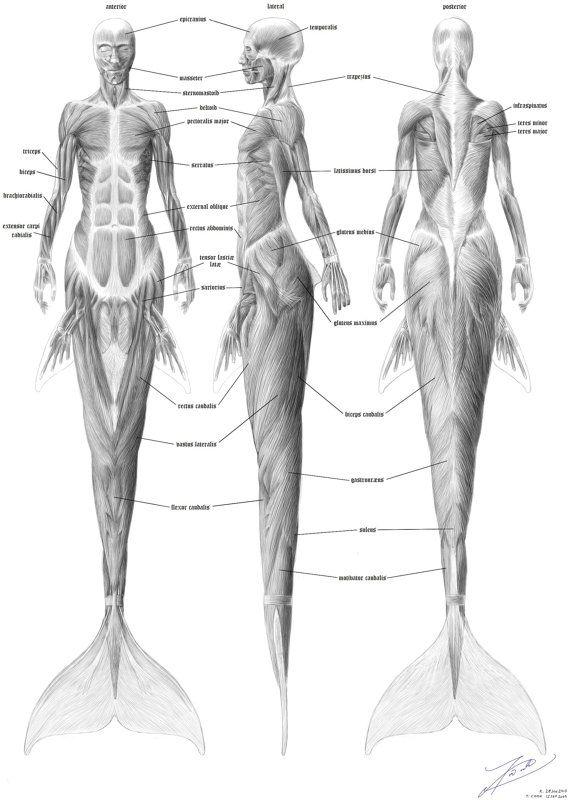 Anatomie de la sirène la musculature par TimCookArt sur Etsy