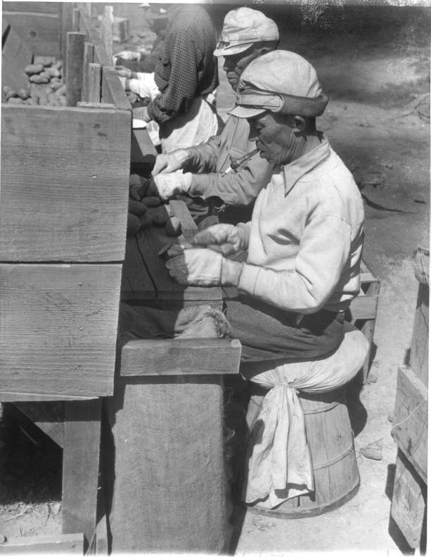 """""""These elderly Japanese are cutting seed potatoes to be planted by the younger residents of the Tule Lake, California, relocation center. Some 835 acres are being planted with vegetables at the center. Refusal of Japs to harvest root crops started the trouble last Monday, their stand being that since they consider themselves prisoners of war they do not have to work."""" -- caption on photograph."""