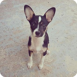 Phoenix, AZ - Corgi/Chihuahua Mix. Meet Pia, a puppy for adoption. http://www.adoptapet.com/pet/18635539-phoenix-arizona-corgi-mix