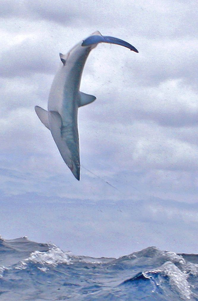 Shortfin Mako Shark - the fastest shark with a top speed of 46 mph
