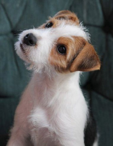 Attentive Listening to his Owner, Jack Russell