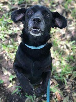 Bradenton Fl Chihuahua Mix Meet Willie A Dog For Adoption