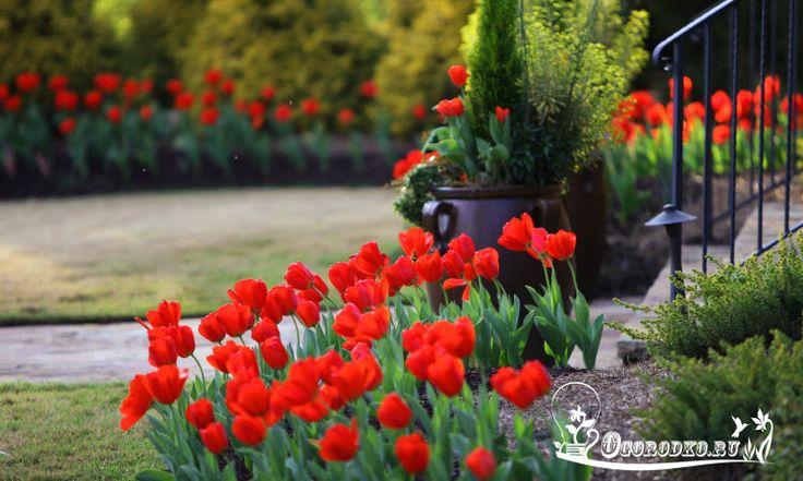 Время посадки тюльпанов осенью:что нужно учесть и в какой месяц лучше.. Если не успели посадить тюльпаны осенью, можно ли посадить весной?