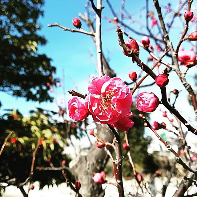 冬来たりなば春遠からじ 確実に春の足音が聞こえてきますね 植物は本当に素直だ #梅の花 #梅 #plum #春よこい