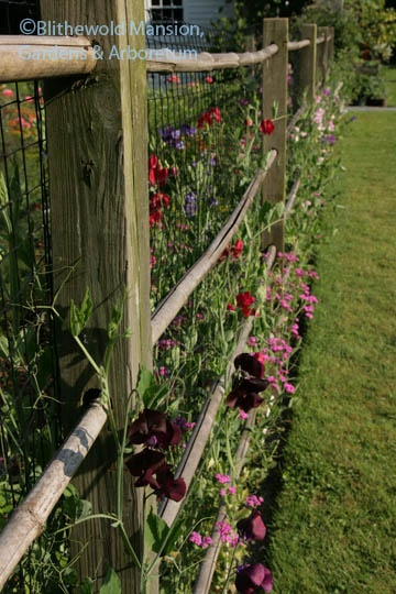 Garden Bush: 17+ Images About Sweet Pea Flowers On Pinterest