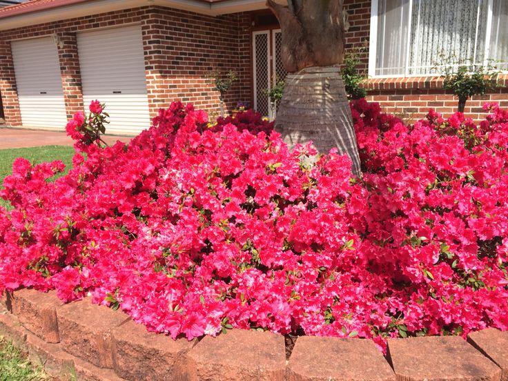 Red azalea flowering