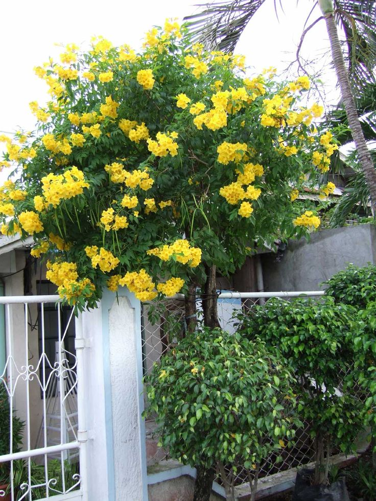 Yellow bells this one was trained into a tree shape for Garden trees with yellow flowers