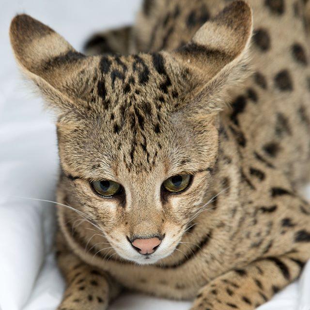 F1hybrids Savannah Cats Savannah Cat Price Savannah Cat Savannah Kitten