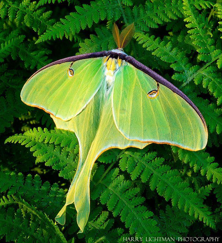 """Luna moth symbolizes """"spiritual transformation"""""""