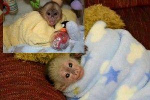 Amazing Capuchin Monkey for Sale