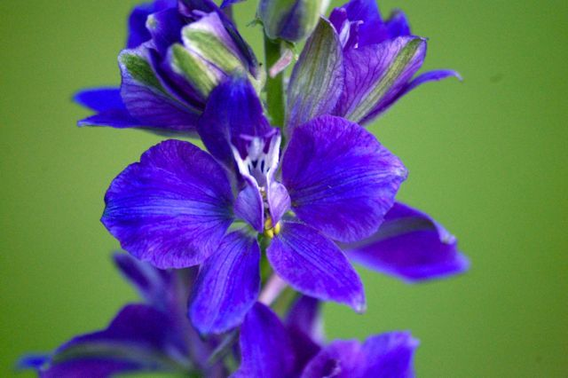 How To Grow Larkspur From Seed | Higgledy Garden