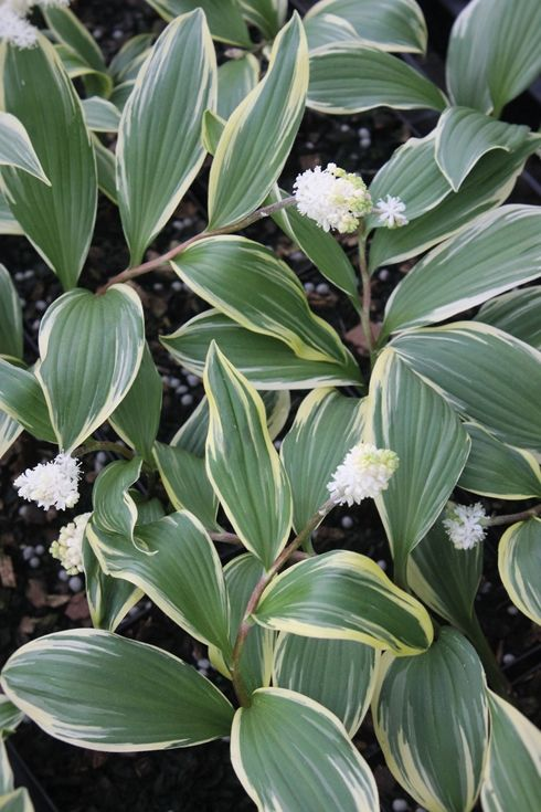 Smilacina japonica 'Snow Dragon', Smilacina Snow Dragon, buy Smilacina Snow Dragon for sale