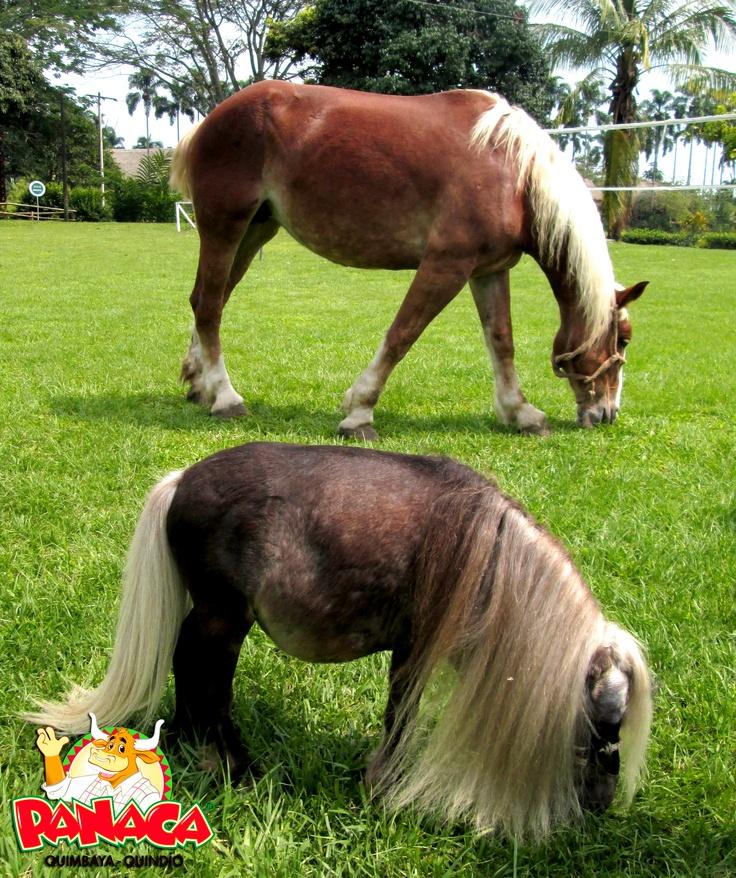 Soy un caballo no un pony, conservo todas las virtudes y atributos de otras razas equinas, por eso, soy una de las Estrellas de PANACA.