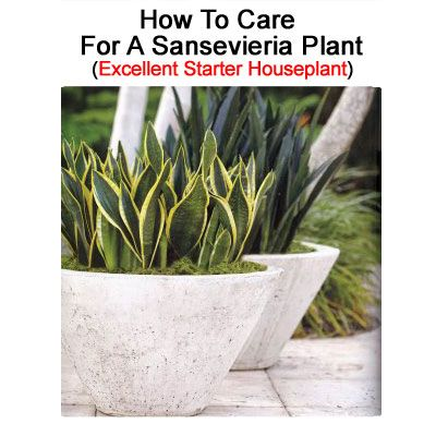 How To Care For A Sansevieria Plant